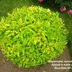 Бирючина золотистая по цене 55₽ - Рассада, саженцы, кустарники, деревья, фото 3