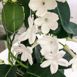 Комнатные растения - Стефанотис флорибунда Stephanotis floribunda, 0