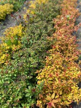 Рассада, саженцы, кустарники, деревья - Спирея Японская (декоративные растения), 0