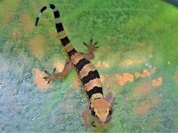 Другие - Триедурус (Hemidactylus triedurus) геккон, 0