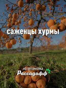Рассада, саженцы, кустарники, деревья - Саженцы хурмы от производителя, 0