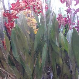 Комнатные растения - Камбрия, 0