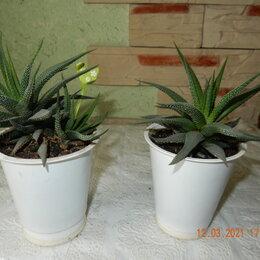 Комнатные растения - Хавортия, 0