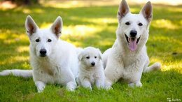 Собаки - Щенки белой швейцарской овчарки, 0