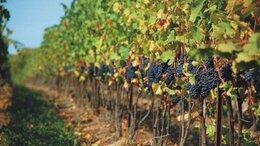 Сельское хозяйство - Продам виноградник на Тамани, 0