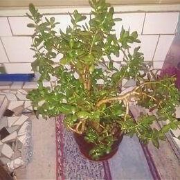 Комнатные растения - Толстянка (денежное дерево) росточки, 0