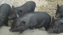 Сельскохозяйственные животные - Поросята, 0