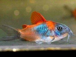 Аквариумные рыбки - Коридорас Венесуэла Оранж сомики подростки 2 см…, 0