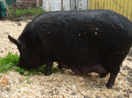 Сельскохозяйственные животные - продаю свиноматку, 0