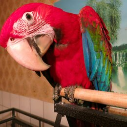 Птицы - Попугай зеленокрылый ара - ручные птенцы из…, 0