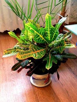 Комнатные растения - Кротон, 0