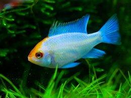 Аквариумные рыбки - Апистограмма Рамирези электрик блю, 0