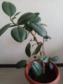 Комнатные растения - Фикус , 0