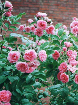 "Рассада, саженцы, кустарники, деревья - Саженцы розы ""Пинк Гротендорст"", 0"