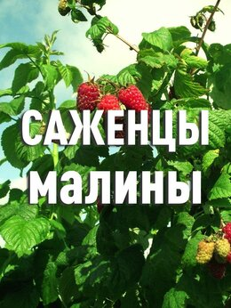 Рассада, саженцы, кустарники, деревья - Крупноплодные саженцы малины, 0