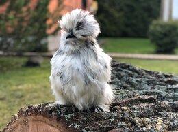 Птицы - Цыплята породы китайские шелковые , 0