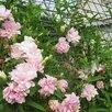 Калистегия плющелистная Флора Плено по цене 300₽ - Рассада, саженцы, кустарники, деревья, фото 0