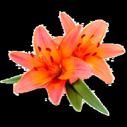Луковичные растения - Флорико Лилия оранжевая (цена за штуку),  см, 0