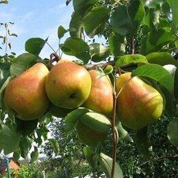 Рассада, саженцы, кустарники, деревья - Груша Кафедральная и др. саженцы, 0