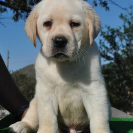 Собаки - Щенки лабрадора ретривера, 0