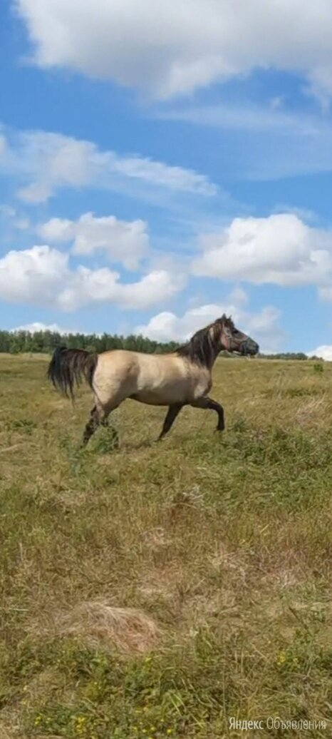 Вятская лошадь по цене 120000₽ - Лошади, фото 0