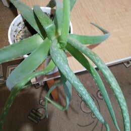 Комнатные растения - Продаю алоэ Вера 3-хлетнее., 0