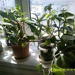 Комнатные растения - Комнатные растения -много и дешево , 0