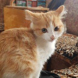 Кошки - Бело рыжий кот порода, 0
