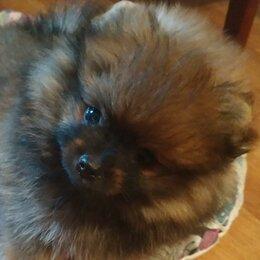 Собаки - Шпиц померанский девочка, 0