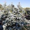Ель колючая голубая  по цене 500₽ - Рассада, саженцы, кустарники, деревья, фото 1