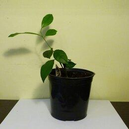 Комнатные растения - Лимон Мейера, 0