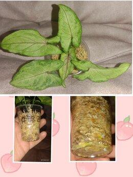 Комнатные растения - Сингониум Orm Maney, 0