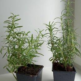 Комнатные растения - Розмарин лекарственный, 0