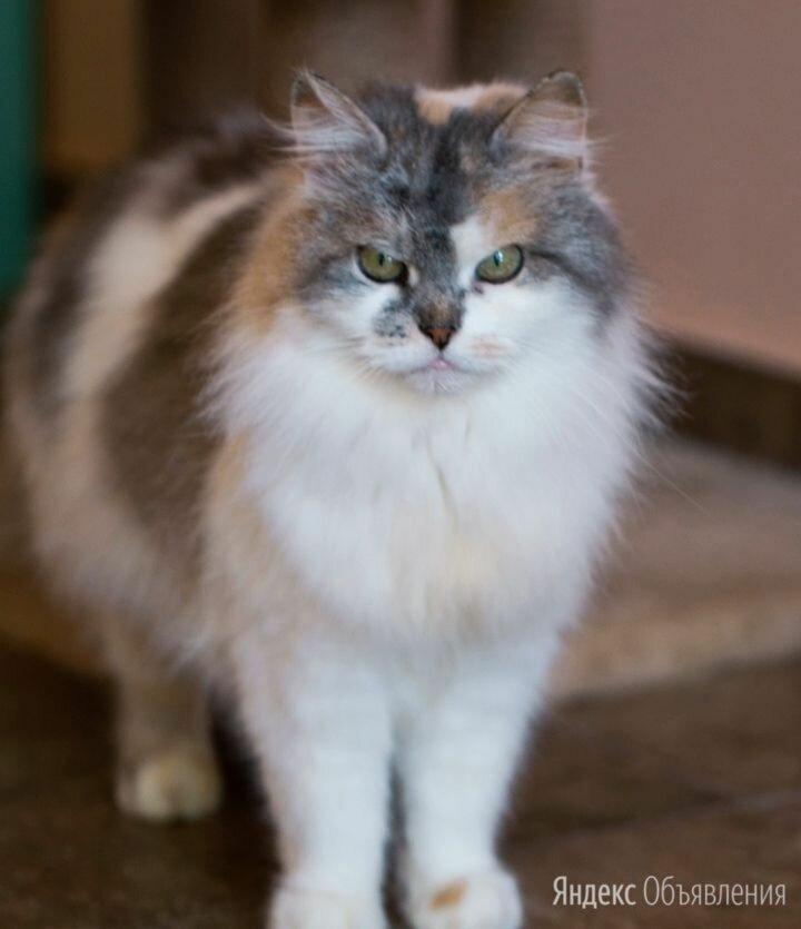 Невероятно ласковая Пыша нуждается в доме по цене даром - Кошки, фото 0