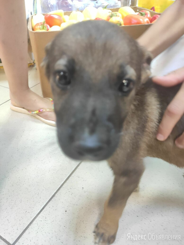 Дворняжка по цене даром - Собаки, фото 0