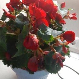 Комнатные растения - Бегония элатиор carmen red, 0