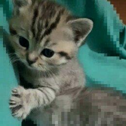 "Кошки - Британская шиншиллка "" вискас"", 0"