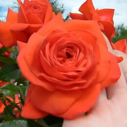Рассада, саженцы, кустарники, деревья - Саженцы плетистой розы Салита, 0