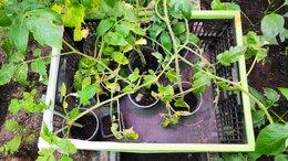 Рассада, саженцы, кустарники, деревья - Рассада помидор, 0