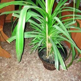 Комнатные растения - Пальма. Высокая. , 0