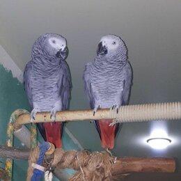 Птицы - Попугай жако домашний, 0