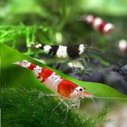 Аквариумные рыбки - Креветки Красный и Чёрный Кристалл (Caridina Crystal) для аквариума, 0