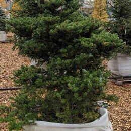 Рассада, саженцы, кустарники, деревья - Пихта корейская Молли, 0