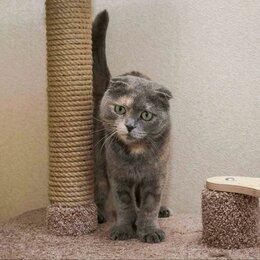Кошки - Шотландская вислоухая в дар , 0