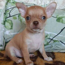 Собаки - Чихуахуа мальчик, 0