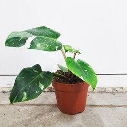 Комнатные растения - Филодендрон Вайт принцесс, 0
