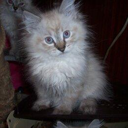 Кошки - Невский маскарадный кот, 0
