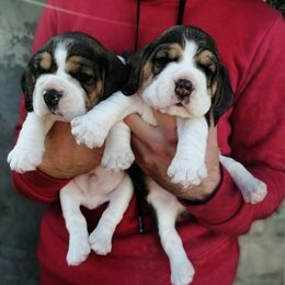 Собаки - Бигль щенок 1 месяц, 0
