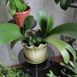 Комнатные растения - Гемантус, 0