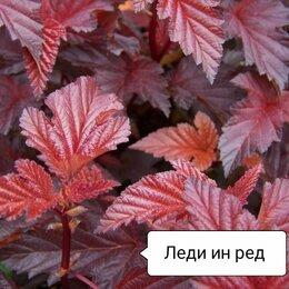 Рассада, саженцы, кустарники, деревья - Пузыреплодник калинолистный , 0